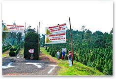 Impulsa Tlalpan a productores de árboles de navidad