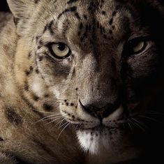 Striking Photos Showcase the Elegant Beauty of Big Cats - My Modern Met - Vincent Musi, National Geographic