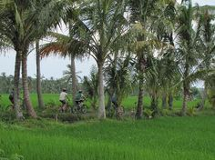 Bali On Bike, Jalan Raya Pengosekan, Ubud...not sure there is this much sawah left to be seen on Jalan Raya Pengosekan now. You have to go further out to see it.
