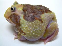 Variety Pacman Frog