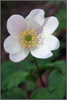 Irish Wildflowers - Wood Anemone, Anemone nemorosa