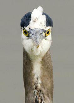 Twitter / PortlandAudubon: Great Blue #Heron Week
