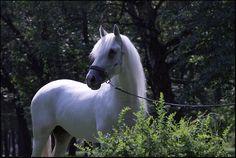 Андалузская - фотографии - equestrian.ru Andalusian
