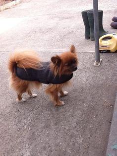 Lola Dog Coats, Corgi, Animals, Coats For Dogs, Animaux, Corgis, Animal, Animales, Animais