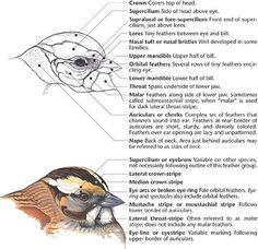 bird head feathers - Google Search