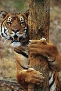 Tiger embracing tree sticking the claws Groupes Joëlle Adam