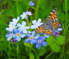 Forget-me-not | Buy forget-me-not Myosotis sylvatica: Delivery by Crocus.co.uk