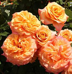 "Rose "" La Villa Cotta ® "" , (KORbamflu) , bred by W. Kordes & Sons (Germany, before 2013)"