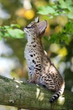 Why Do Cats Purr, Cats And Kittens, Cute Cats, Big Cats, Serval Kitten, Big Cat Species, Funny Animals, Cute Animals, Warrior Cats Books