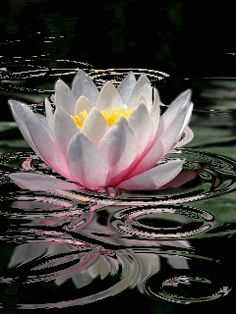 Out of the mud of your fear, struggles, pain, and confusion,the lotus flower of your inner heart spontaneously grows.....