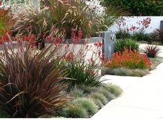 Garden Ideas Landscaping Ideas Coastal plant Seaside plant drought tolerant plant Debora Carl Landscape Kangaroo paws Leucadendron Blue FescueDwarf Fountain Grass Pennisetum Setaceum Phormium New Zealand Flax Small Front Yard Landscaping, Inexpensive Landscaping, Modern Landscaping, Outdoor Landscaping, Landscaping Design, Coastal Landscaping, Landscaping Company, Landscaping Software, Driveway Landscaping