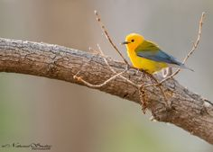 The sight of a Prothonotary Warbler will brighten any day. © 2014 Nathaniel Smalley www.NathanielSmalley.com