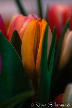 Ritva's Art - Photography | World as I see it Tulips, Art Photography, World, Nature, Plants, Fine Art Photography, Naturaleza, The World, Plant