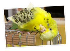 今日の愛鳥「ピーコ」