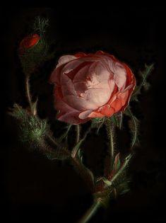 Rachel Ruysch (The Hague 3 June 1664 – Amsterdam 12 August was a Dutch still-life painter A rose, date unknown, oil painting, private collection. Dutch Still Life, Still Life Art, Women Artist, Floral Illustration, Baroque Painting, Midnight Garden, Plant Drawing, Botanical Art, Flower Art