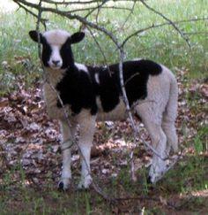 Jacob sheep... such a cute lamb!