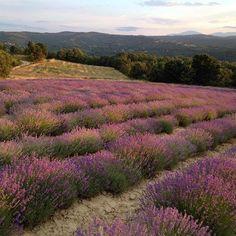 Ο μωβ ...παράδεισος στη Λούβρη ΚΟΖΑΝΗΣ. Δύση ηλίου στο χωράφι με τη λεβάντα στο τελείωμα του ξεχορταριασματος. Διαβάστε περισσότερα για την καλλιέργεια λεβάντας της οικογένειας Τζήμτσου στα site www.lavenderoil.gr και www.lavendergreece.gr #lebanta #lavender #λεβάντα #λεβαντα #levante #purple #field #xorafi
