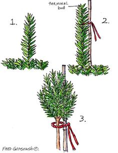 HOW TO:  3 easy steps to growing a topiary from an upright yew