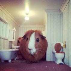 maaaa, o el cuy es muy grande,o el baño es muy pequeño :c