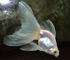 white Veiltail Goldfish - looks like my current goldfishes Goldfish Types, Goldfish Pond, Colorful Fish, Tropical Fish, Veiltail Goldfish, Comet Goldfish, Carpe Koi, Cool Fish, Pet Fish