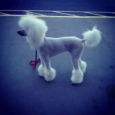Poodle that's clipped like a chinese crested powder puff dog