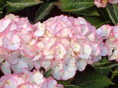 Elegant Hortensie Hydrangea macrophylla Chique Pflanzenb rse GmbH