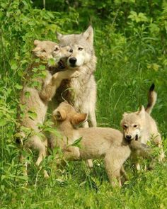 Wolves, wolves, wolves and a very patient Mother Wolf.