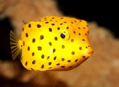 Spotted Boxfish! One of my favorite fish to see on a dive #tropical fish #yellow