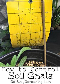 Are there gnats flying around your houseplants? Those are soil gnats, and they are probably the most common of all houseplant pests. Here's How to Control Soil Gnats | GetBusyGardening.com