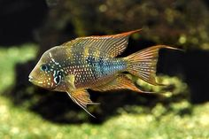 The ultimate UK fish keeping resource for all types of tropical and marine fish, including fish books, articles, fish shops, fish clubs and more. Cichlid Aquarium, Aquarium Set, Tropical Fish Aquarium, Freshwater Aquarium Fish, South American Cichlids, Monster Fishing, Fish Breeding, Marine Fish, Beautiful Fish