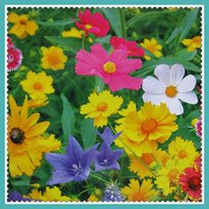 New Hierloom Mix-color 200 Ratoon Wildflower Mix Seeds Fragrant Flowers Gardening K001