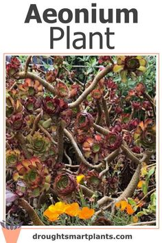 You need an Aeonium Plant or two in your succulent collection... Swimming Pool Decorations, Importance Of Water, Overwintering, Dry Leaf, Types Of Soil, Tenerife, Succulents, Planters, Website