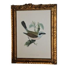 "SOLD!!! Beautiful print of a red backed shrike bird in a gilded wooden frame. This is a reproduced print by Morris of the Red Backed Shrike from ""History of British Birds"", large edition, 1892. I am not sure how old the actual print is but the frame is very old. This piece would look lovely in any home. The gilded frame does have a few nicks in the wood, but in my opinion it just adds to the old world character and charm of the piece."