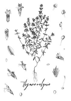 Thyme - strength/courage