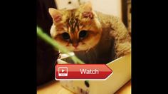 😸 Funny cat video I am the boss 😼 Funny cat video I am the boss Can you please drag me 😽 on Pet Lovers 😻
