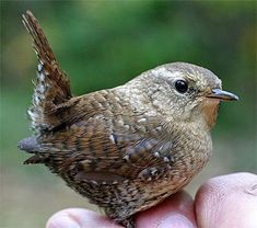 Nature: The Winter Wren, Troglodytes troglodytes, is a small and elusive bird species that has rarely been banded at Hilton Pond Center. Pretty Birds, Love Birds, Beautiful Birds, Animals Beautiful, Small Birds, Little Birds, Colorful Birds, Troglodytes, Kinds Of Birds