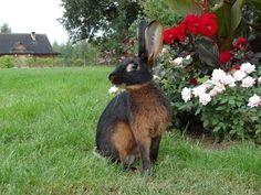 Кролик породы Бельгийский заяц чёрно огненный Hasenkaninchen, lohfarbit