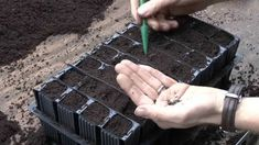 How to sow sweet pea seeds - YouTube Everlasting Sweet Pea, Sweet Pea Seeds, Sweet Peas, Gardening Tips, Garden Ideas, Trainers, Advice, Autumn, Healthy
