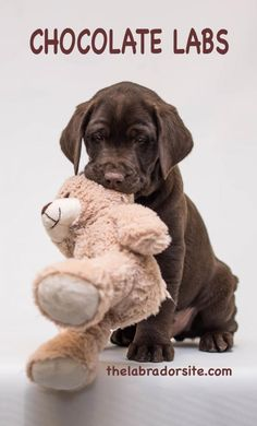 Chocolate lab with her teddy bear. Chocolate Labradors often love to carry soft toys around
