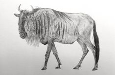 Drawing For Beginners Realistic Pencil Drawing tutorial for Beginners. A pencil drawing of a Wildebeest. How to draw realism with pencils. Realistic Animal Drawings, Realistic Sketch, Art Drawings For Kids, Pencil Art Drawings, Cool Drawings, Art Sketches, Pencil Sketching, Sketching Tips, Fine Art Drawing