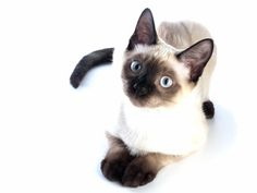siamese I want one!!!