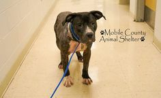 ****URGENT ON EUTH LIST WedS 8-21-13***   MOBILE, ALABAMA! FABIAN ID#A051168 Fabian is a 5 year old, 72 pound Pittie boy who needs someone to save him now! He is RESCUE ONLY BECAUSE OF HIS BREED. HE NEEDS MEDICAL ATTENTION.  Mobile County Animal Shelter 7665 Howells Ferry Rd Mobile, AL 36618. If you would like to adopt or foster, please email adopt@saveasoutherndog.com!  https://www.facebook.com/photo.php?fbid=559180594135230=a.193103557409604.60105.193102227409737=1_count=1