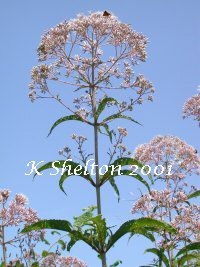 Joe Pye Weed - The entire plant is used as an alternative medicine with the roots being the strongest part. Crushed leaves have an apple scent and are dried then burned to repel flies. Infuse dried root and flowers for a diuretic tea to relieve kidney and urinary problems. Tea is used to induce sweating and break a high fever. Also useful for rheumatism, gravel (gallstones), and dropsy (fluid retention).