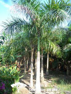 P020104Roystonea Regia(Royal Palm)
