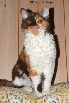 Selkirk Rex , Curly cat , chat mouton Selkirk Rex, Curly Cat, T Rex, Pets, Desserts, Animals, Cattery, Animals And Pets, Animales