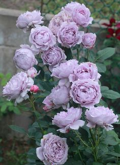 Beautiful Rose Flowers, Amazing Flowers, Beautiful Gardens, Rose Garden Design, Love Garden, Luxury Flowers, Orchid Flowers, David Austin Roses, Blooming Rose