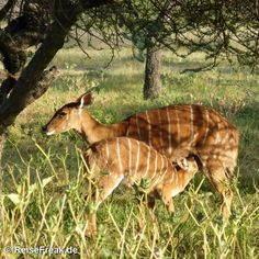 Über Instagram hier eingefügt Mein neuester Artikel: #mongena #GameLodge  http://ift.tt/1ZNAWt1 - Malariafreie #Wildreservate in #südafrika #safari #malariafree #gamereserves #wb1001rb #wbesaesa @south_africa_through_my_eyes #wbpinsa #safari #photographicsafari #urlaub #holiday #photooftheday #reisen #afrika #africa #travelblogger #germanbloggers #reiseblogger #safarilodge #malariafreesafari #gamereservesouthafrica #africa_nature #nature_africa @mongenalodge #southafrica