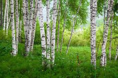 Birch essential oil is a purifying, uplifting & stimulating oil encouraging detoxification of the body when inhaled or applied topically. Learn more about its benefits and how to use it with Flex5 Aromatherapy Consult!