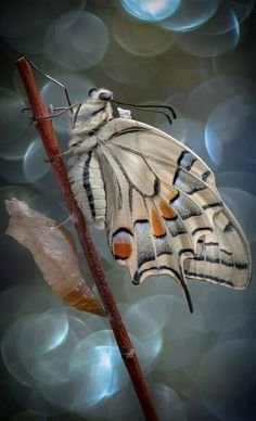 Photographer - Alberto Di Donato A beautiful Papilio Machaon butterfly with gorgeous bokeh. Image size: x Giclée fine art prints are available in various sizes please contact us for details Beautiful Bugs, Beautiful Butterflies, Cool Bugs, Flying Flowers, Moth Caterpillar, Butterfly Kisses, Chenille, Beetles, Beautiful Creatures
