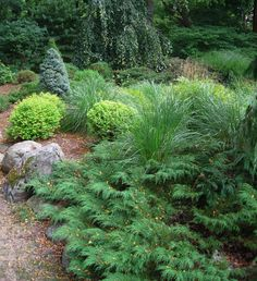 Siberian Cypress would be nice in the yard